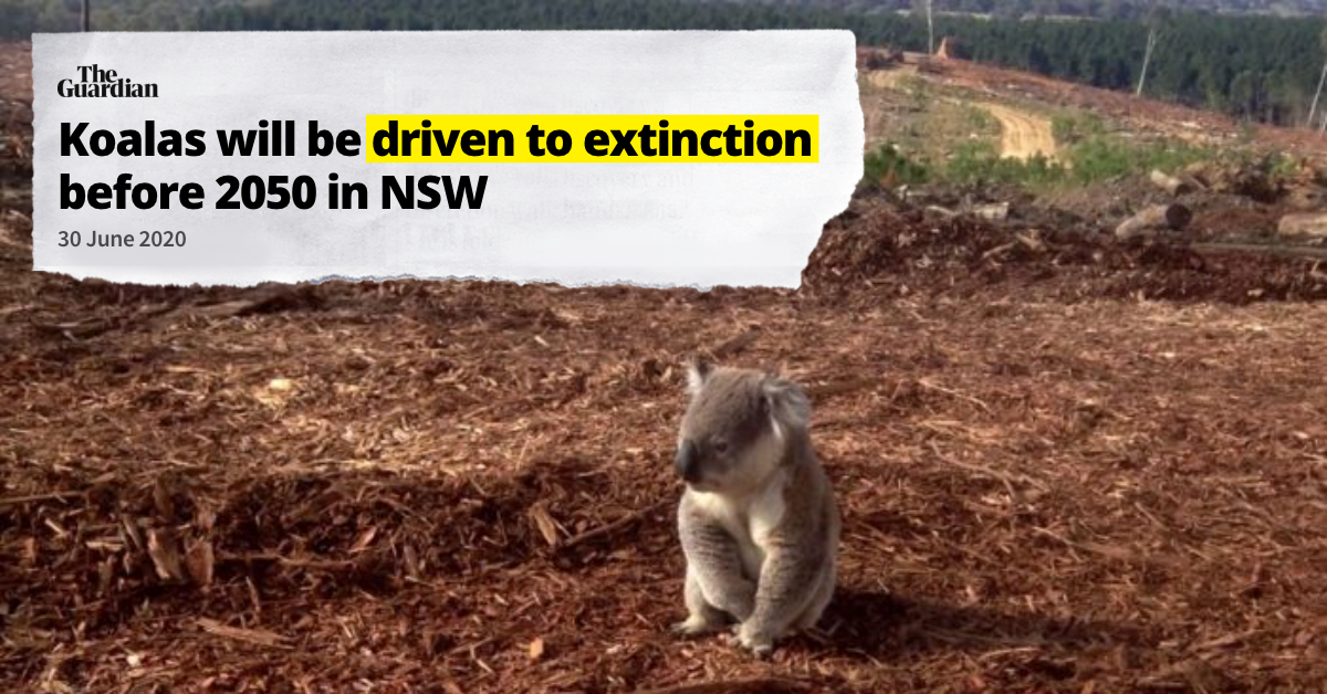 """Image of koala surrounded by cleared land. Headline reading """"Koalas will be driven to extinction in NSW 2050"""""""